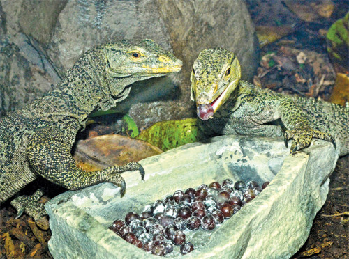 The discussion focuses on animal mating habits, such as those of Gray's monitor lizards. (photo by Tad Motoyama)
