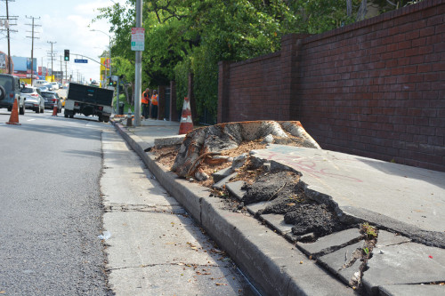 Trees causing damage to the sidewalk adjacent to Hancock Park Terrace were removed at the complex's expense. (photo by Patricia Sanchez)