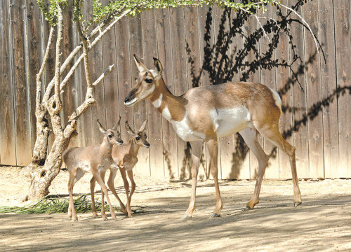 The Los Angeles Zoo is working to preserve pensisular pronghorn antelopes in Baja California. (photo by Tad Motoyama)