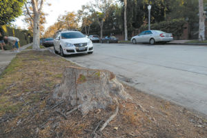Residents were alarmed to find stumps where trees used to be on  June Street after the city of Los Angeles cut down more than 30 trees recently in Hancock Park. (photo by Edwin Folven)