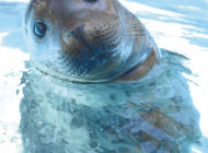 Ziggy the seal gets a feel  for her new home at the zoo