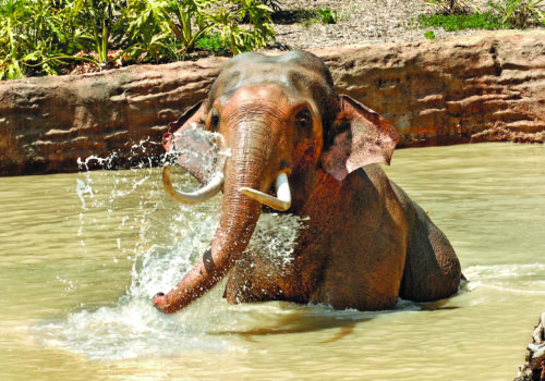 """Billy the elephant is shown in the zoo's """"Elephants of Asia"""" exhibit. The city council will consider a motion by Councilman Paul Koretz calling for Billy to be moved to a sanctuary. (photo courtesy of the Los Angeles Zoo)"""