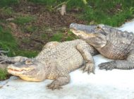 New alligator duo enjoys the 'swamp' at the L.A. Zoo