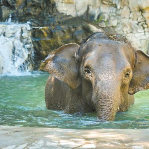 Shaunzi, a 46-year-old female Asian elephant, has been relocated to the Los Angeles Zoo from the Fresno Chaffee Zoo. (photo courtesy of the Fresno Chaffee Zoo)