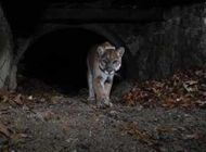 State trying to better protect mountain lions