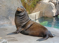 Visitors can see  – and hear – new California Sea Lion at L.A. Zoo