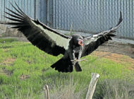 Zoo awarded for work with  endangered California condors