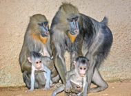 Zoo introduces new baby mandrills