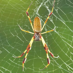 Find a nephila clavipes, or species of golden orb-web spider, at the Spider Pavilion. (photo courtesy of the Natural History Museum of Los Angeles County)