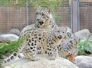 New snow leopard cubs debut at L.A. Zoo