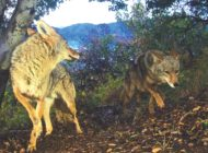 West Hollywood sets out plan to manage urban coyotes