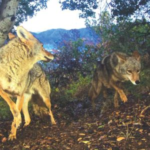 Coyotes, pictured in Griffith Park, have been wandering on private residences and city streets recently. (photo courtesy of the National Park Service)