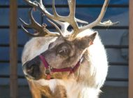 'Romp' with reindeer at the L.A. Zoo