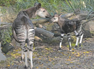 Zoo celebrates first female okapi calf