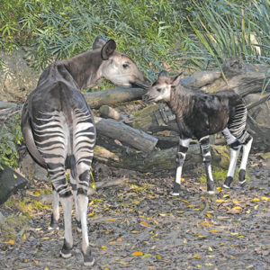 A new okapi calf, also known as a forest giraffe, was born on Nov. 10. The new calf has yet to be named but is now on view at the Los Angeles Zoo. (photo by Tad Motoyama)