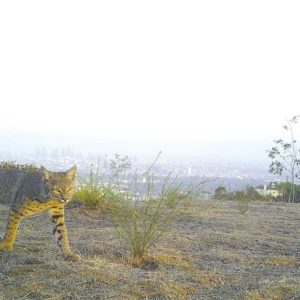 A camera installed on the land that will be preserved has captured images of numerous animal species roaming the area, including this bobcat. (photo courtesy of Citizens for Los Angeles Wildlife)