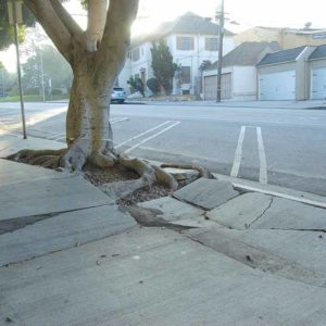 The city is planning to remove ficus trees on Eighth Street to accommodate sidewalk repairs needed to comply with Americans With Disabilities Act requirements. (photo by Edwin Folven)
