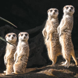 The new meerkats are from zoos in Quebec, Canada and Wichita, Kansas, and were brought to Los Angeles to replace meerkats at the Los Angeles Zoo that died of old age. (photo by Jamie Pham)