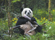Journey with pandas in new IMAX film
