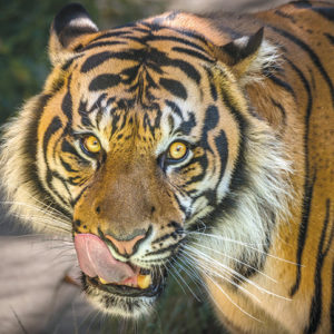 """The Los Angeles Zoo's """"Wild for the Planet"""" program has a component focusing on endangered species such as Sumatran tigers. (photo by Jamie Pham)"""