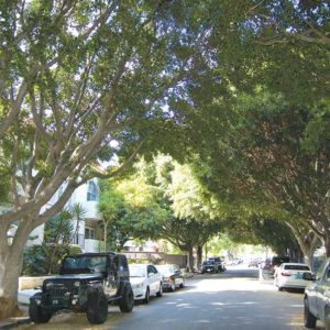 Eighteen full-grown trees in the 1200 block of North Cherokee Avenue are scheduled to be removed so sidewalks can be repaired. (photo by Edwin Folven)