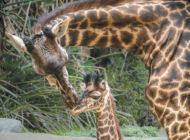 Giraffe born in zoo's species survival program