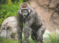 Zoo pairs gorillas in species survival program