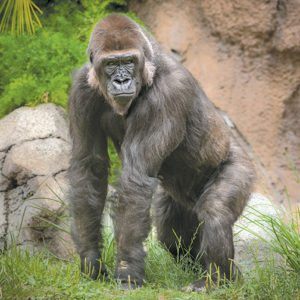 Ndjia, a western lowland gorilla, has joined other members of the species at the Los Angeles Zoo's Campo Gorilla Reserve exhibit. (photo by Jamie Pham)
