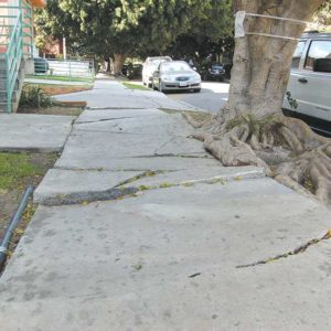The city of Los Angeles is planning to remove 18 ficus trees on Cherokee Avenue because their roots are damaging the sidewalks, which need repairs to meet ADA requirements. The ficus trees will be replaced with 36 pink trumpet trees. (photo by Edwin Folven)