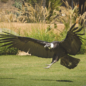 Kid-friendly activities, documentaries, keeper walkabouts and more on Sept. 1 will give Los Angeles Zoo visitors the opportunity to better understand vultures. (photo by Jamie Pham/GLAZA)