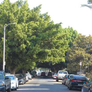 Ficus trees on Cherokee Avenue that were scheduled to be cut down will remain while the city and groups hoping to preserve them work to find alternatives. (photo by Edwin Folven)