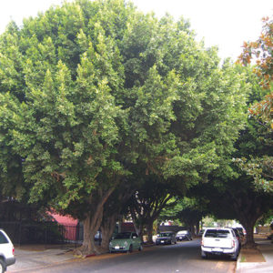 Eighteen ficus trees on Cherokee Avenue were scheduled for removal. The city is awaiting the outcome of legal proceedings to move forward. (photo by Edwin Folven)