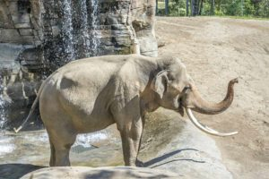 The Los Angeles City Council approved a plan for three independent experts to analyze Billy the elephant's health. (photo by Jamie Pham)