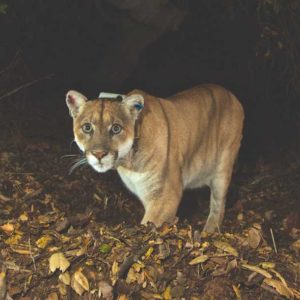 Authorities have been unable to verify the whereabouts of mountain lion that P-22 that inhabits Griffith Park after recent fires the Santa Monica Mountains, but they added it's not necessarily cause for alarm. (photo courtesy of the NPS)