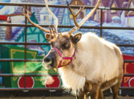 Visit with Santa and his reindeers at the L.A. Zoo