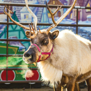 Expert keepers at the Los Angeles Zoo will share fun facts about reindeers every weekend until Jan. 6 at 11 a.m. and 2 p.m. (photo by GLAZA/Jamie Pham)