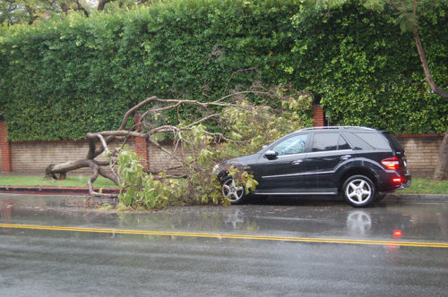 A tree fell on Rossmore Avenue north of Wilshire Boulevard, and some of the beaches struck the front of a parked car. (Photo by Edwin Folven)