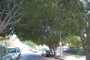 The mature ficus trees in the 1200 block of North Cherokee Avenue have formed a shady canopy above the street. (photo by Edwin Folven)