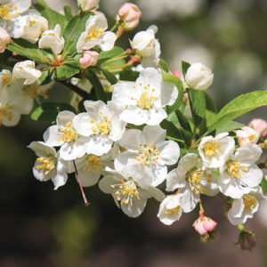 Receive two Sargent crabapples and eight other flowering trees, or five crepe myrtles for a $10 contribution to the Arbor Day Foundation. (photo by Maja Dumat)