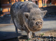 Zoo celebrates Year of the Pig with education