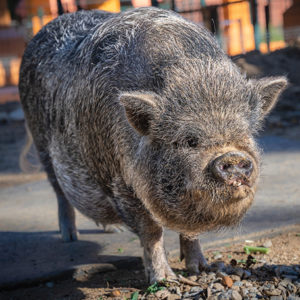 The Los Angeles Zoo's two new Vietnamese pot-bellied pigs Petunia and Pua arrived just last month. (photo by Jamie Pham)