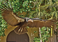 California condor joins Los Angeles Zoo bird show