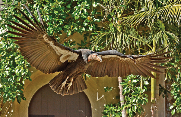 Hope, a 4-year-old California condor at the Los Angeles Zoo, will be the first of her species to participate in a free-flight bird show. The Angela Collier World of Birds Theater will host the performances six days a week. (photo by Tad Motoyama/courtesy of the Los Angeles Zoo)