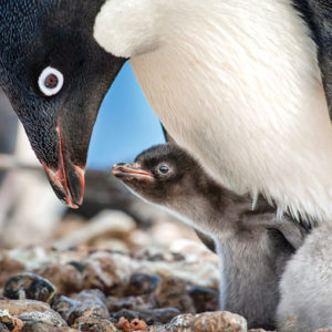 "The El Capitan Theatre will show the nature film ""Penguins"" twice daily until April 21. (photo courtesy of ©Disney)"