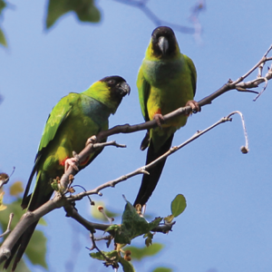 The nanday parakeet is one of more than 32,000 species that were spotted in the fourth annual City Nature Challenge. (photo courtesy of iNaturalist)