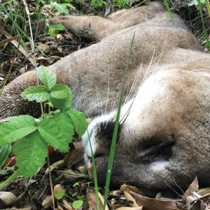 Rat poison is suspected in the death of a 3-year-old mountain lion in the Santa Monica Mountains. (photo courtesy of the National Park Service)