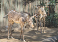 Zoo welcomes second Grevy's zebra foal