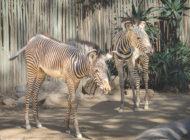 Zoo welcomes second Grevy's zebra foal