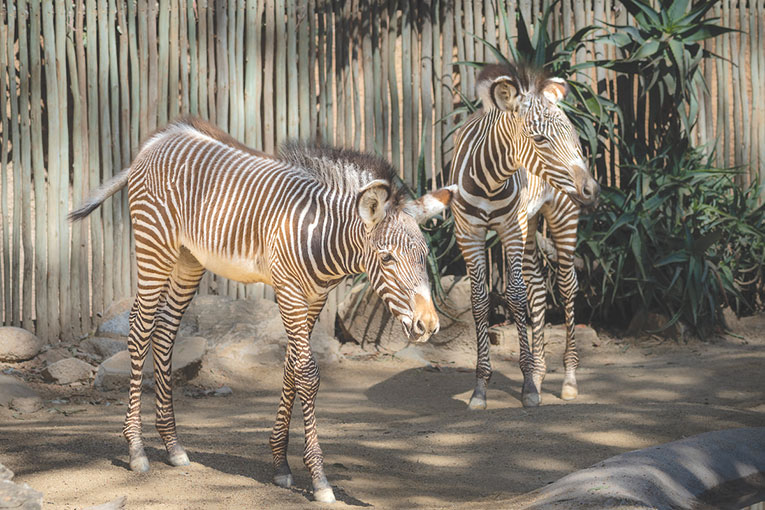 The Los Angeles Zoo's new Grevy's zebras are on display this summer. (photo by Jamie Pham)