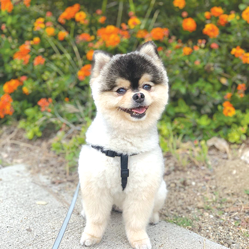 Daniel Sturridge's Pomeranian Lucci is reportedly back with its owner. (photo courtesy of Daniel Sturridge's Instagram account)